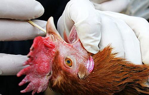 По последним данным ВОЗ повышенные опасности нового штамма птичьего гриппа сильно преувеличены