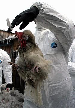 Птичий грипп настолько опасен, что может охватить весь мир