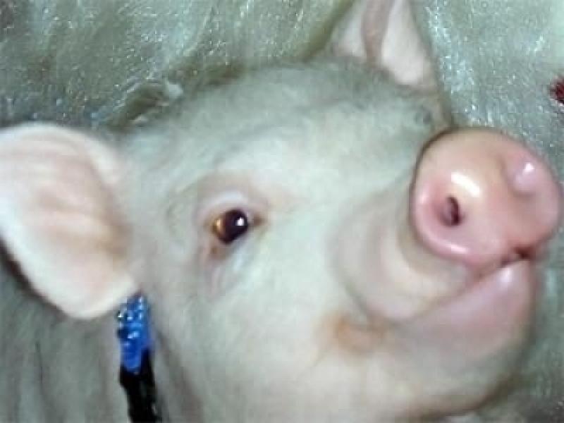 Случаи заражения свиным гриппом зафиксированы в Америке