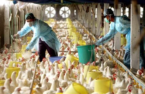 Птичий грипп снова взялся за уничтожение домашних птиц