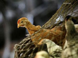 Китайские птицеводы вновь ощутили на себе коварный удар птичьего гриппа
