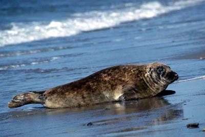 В мире появился новый штамм гриппа, который окрестили «тюленим»