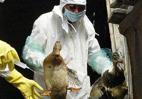 Птичий грипп по прежнему время от времени дает о себе знать