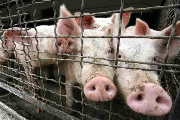 Израиль попал под удар свиного гриппа