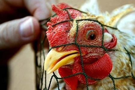 Страсти вокруг исследования птичьего гриппа не утихают до сих пор