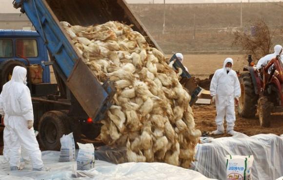 В Китае опят переполох из-за птичьего гриппа