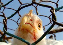 Из-за опасений вспышки птичьего гриппа голландцы убивают птиц