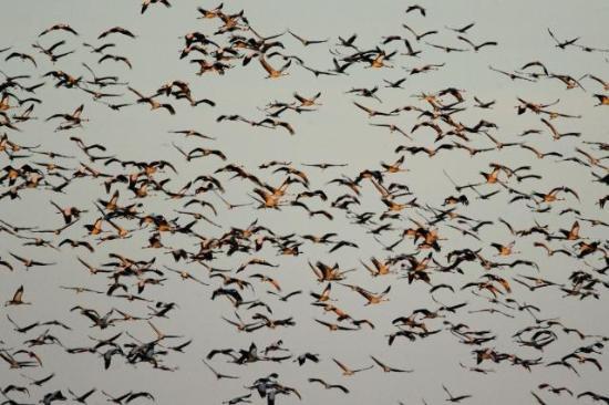 Перелетные птицы угрожают домашним пернатым птичьим гриппом