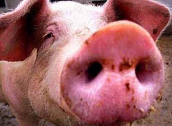 Свиной грипп заявил о себе в Соединенных Штатах Америки