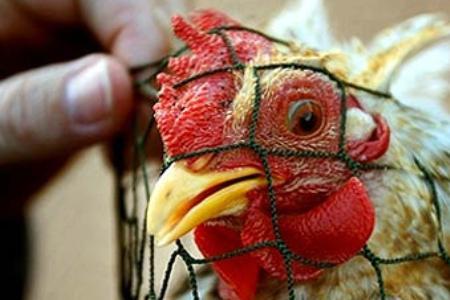 Ученые будут проводить опасные манипуляции с «китайским птичьим» гриппом