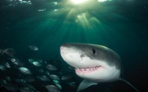 акулий сквален купить