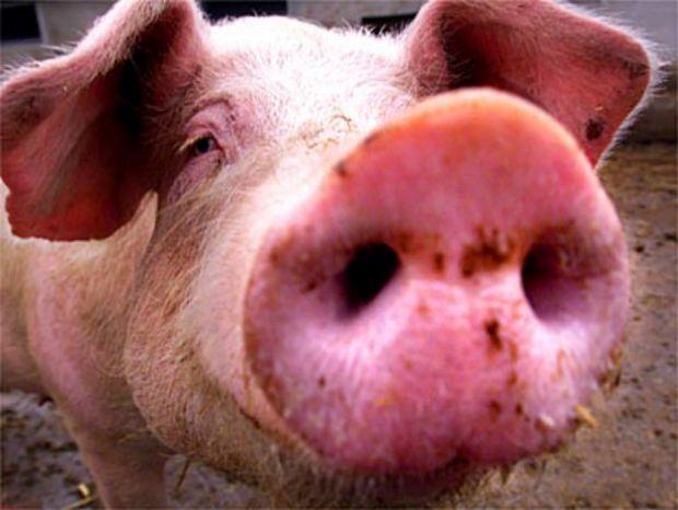 В Самарской области появились случаи заражения свиным гриппом