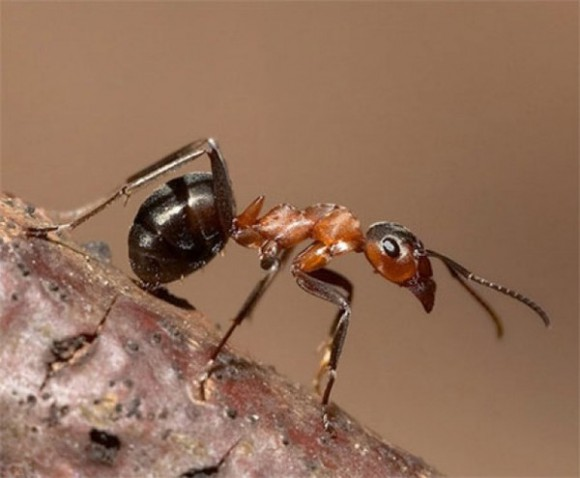 Новое слово в антибиотиках «сказали» муравьи