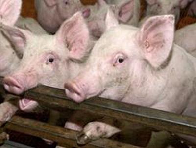 Свиной грипп h1n1 — вся информация о гриппе