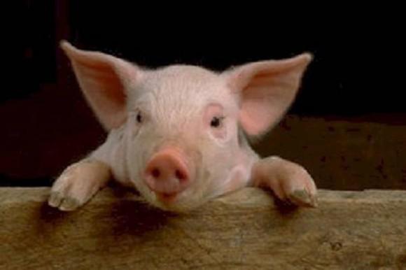 Свиной грипп снова атакует Австралию