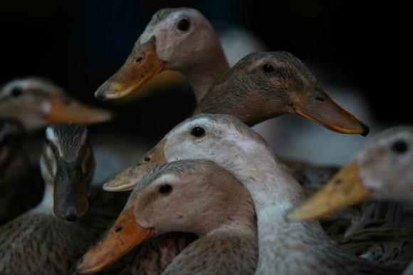 Во Вьетнаме из-за вспышки птичьего гриппа погибли более 1,3 тысячи уток