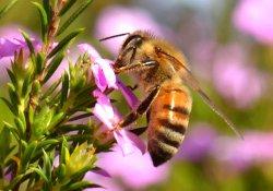 Пчелы, как «фабрика» мощных антибиотиков