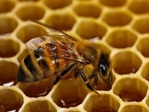 Медоносные пчелы могут спасти человечество от устойчивых к антибиотикам бактерий