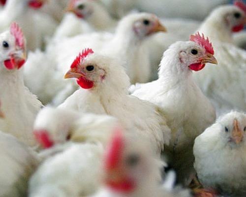 России снова угрожает птичий грипп