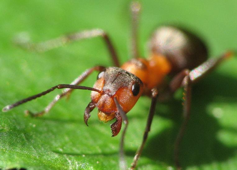 Муравьи помогут ученым в создании антибиотиков