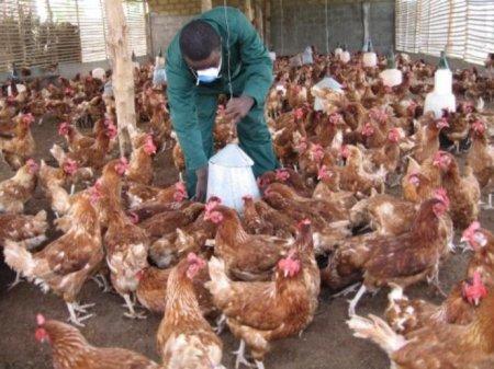 Птичий грипп, обнаруженный в Великобритании, не опасен для людей
