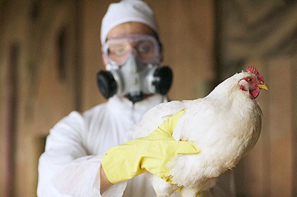 Птичий грипп обнаружен на пятой ферме в Канаде