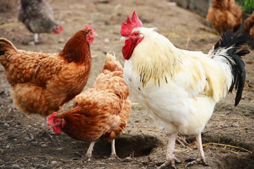 В округе Биньямин обнаружили птичий грипп