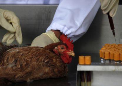 Птичий грипп обнаружен в центре Израиля