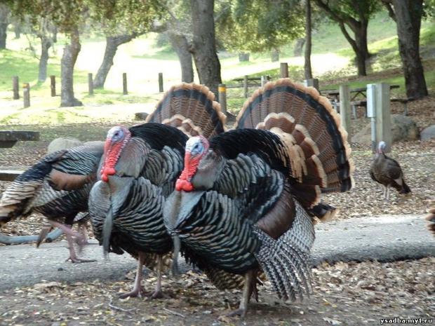 В США на индюшиной ферме обнаружили птичий грипп