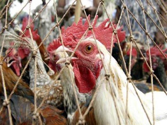Соединенным Штатам грозит мощнейшая за десятилетия вспышка птичьего гриппа — OIE