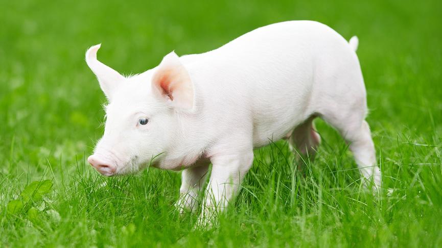ВОЗ раскритиковала название «свиной грипп»