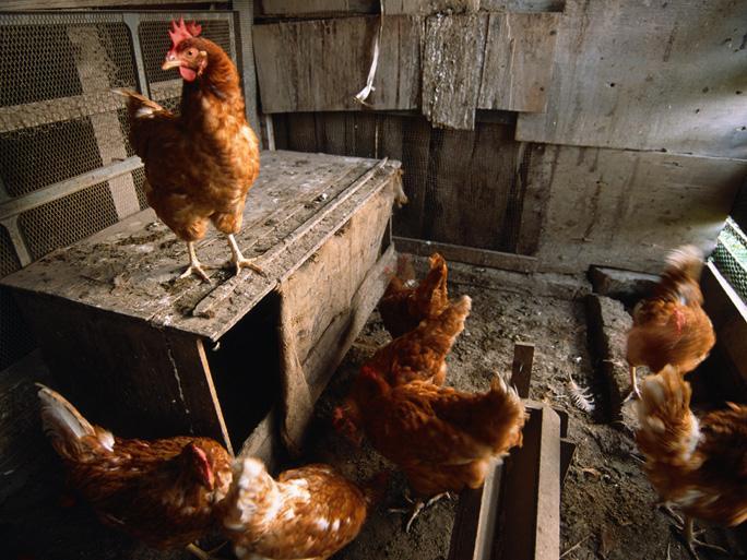 На западе Турции из-за птичьего гриппа в городе объявлен карантин