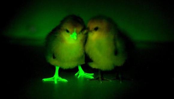 Светящиеся цыплята помогут найти вакцину от птичьего гриппа