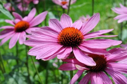 Эхинацея как средство для защиты от простуды