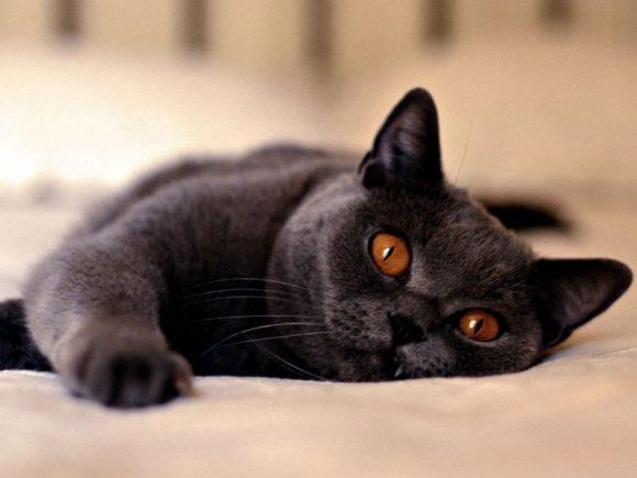 Кошки продлевают жизнь и повышают иммунитет