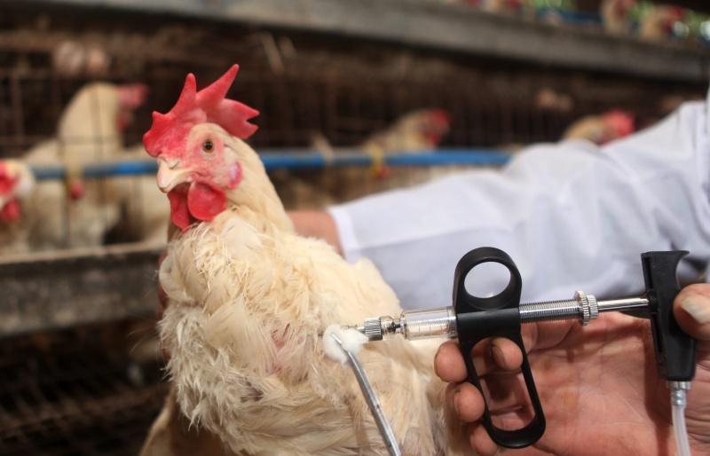 К Прикамью подступает «птичий грипп»