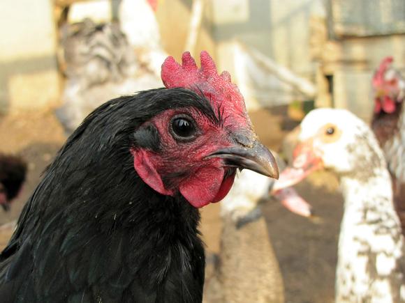 Птичий грипп в Нидерландах вынудил уничтожить почти 200 тысяч уток