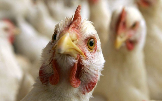В Польше зафиксированы новые случаи птичьего гриппа