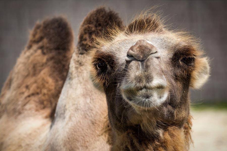 Верблюжий грипп грозит стать чумой XXI века