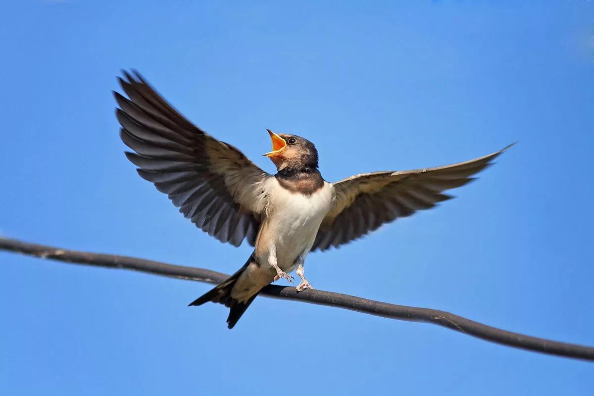 Певчие дикие птицы также являются переносчиками вирусов гриппа