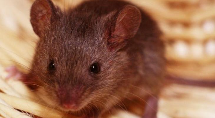 В Пензенской области растет заболеваемость мышиной лихорадкой