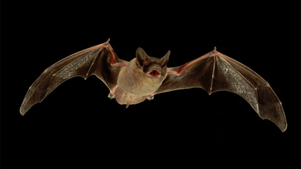 Летучие мыши могут помочь улучшить иммунитет человека