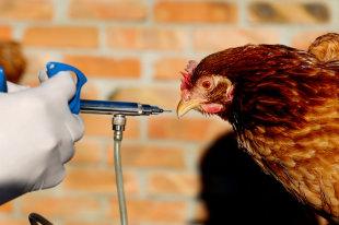 На костромской птицефабрике обнаружили птичий грипп