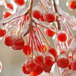 Калиновый чай помогает при бронхите, тонзиллите и ангине