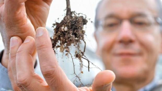 Грибок Cryptococcus gatti, который обитает на деревьях, опасен для ВИЧ-положительных пациентов
