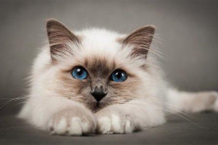 Птичьим гриппом можно заразиться от кошек