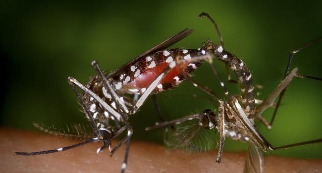 С распространением лихорадки денге будут бороться паразитические бактерии