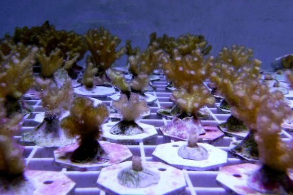 Ученые нашли у кораллов гены иммунитета