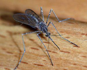 Здоровый микробиом защищает от инфекций, переносимых комарами