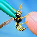 В яде осы обнаружено спасение от самых стойких бактериальных инфекций